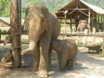 Família do elefante Foto de Stock Royalty Free