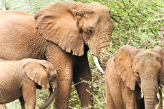 Família do elefante africano imagens de stock