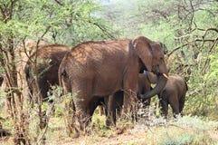 Família do elefante africano imagem de stock