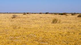 Família do elefante em Botswana, África Imagens de Stock Royalty Free
