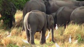 Família do elefante em Maldivas filme