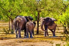 Família do elefante no furo molhando de Gat da bebida de Olifants no parque nacional de Kruger imagem de stock