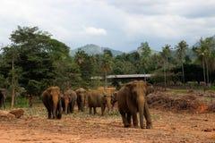 Família do elefante que anda em seu habitat natural Foto de Stock Royalty Free