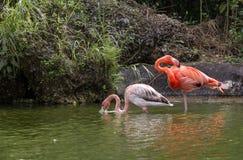 Família do flamingo imagens de stock