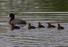Família do galeirão Imagem de Stock