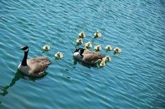 Família do ganso imagens de stock
