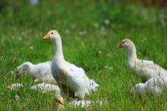 Família do ganso Fotografia de Stock