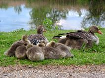 Família do ganso de pato bravo europeu Imagens de Stock