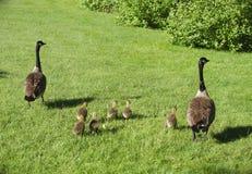 Família do ganso em animais selvagens da natureza do pássaro da grama Foto de Stock