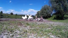 Família do ganso que faz correria no banco de rio 2 video estoque