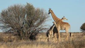 Família do girafa vídeos de arquivo