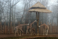 Família do girafa Foto de Stock Royalty Free