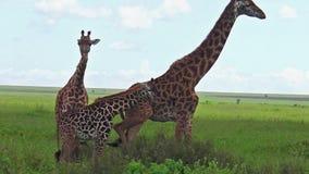 Família do girafa de Serengeti video estoque