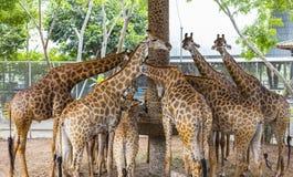Família do girafa em comer do jardim zoológico Foto de Stock Royalty Free