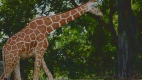 Família do girafa em um jardim zoológico vídeos de arquivo