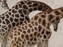 Família do girafa no jardim do jardim zoológico Foto de Stock Royalty Free