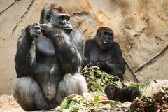 Família do gorila no jardim zoológico de Taronga Fotografia de Stock