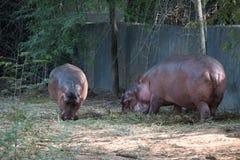 Família do hipopótamo fotografia de stock royalty free