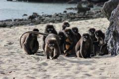 Família do langur de óculos obscuro na praia Fotos de Stock Royalty Free