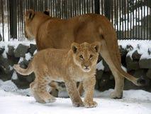 Família do leão fotografia de stock royalty free