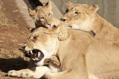 Família do leão Imagem de Stock Royalty Free