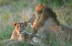 Família do leão imagens de stock royalty free