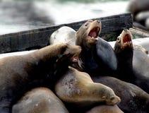 Família do leão de mar Imagens de Stock