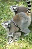 Família do Lemur fotografia de stock royalty free