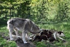 Família do lobo em férias Foto de Stock Royalty Free