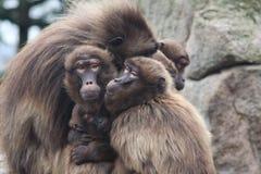 Família do macaco Imagem de Stock Royalty Free