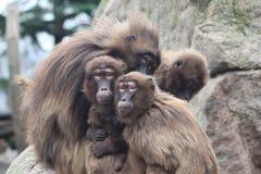 Família do macaco Fotos de Stock Royalty Free