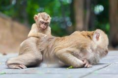 Família do macaco Foto de Stock Royalty Free