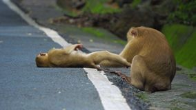 A família do macaco na estrada é limpada cuidados do mum para o macaco do bebê video estoque