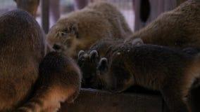 A família do Nasua come e alimentadores no jardim zoológico filme