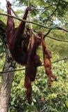 Família do orangotango no jardim zoológico de Singapura Fotografia de Stock Royalty Free