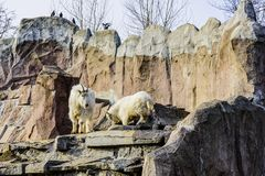Família do Oreamnos latino dos mamíferos fender-hoofed das cabras da neve americano no jardim zoológico de Moscou Rússia imagens de stock royalty free