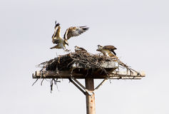 Família do Osprey Imagens de Stock