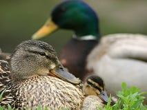Família do pato fotografia de stock