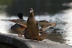 Família do pato Foto de Stock Royalty Free