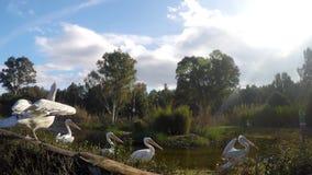 Família do pelicano na natureza vídeos de arquivo