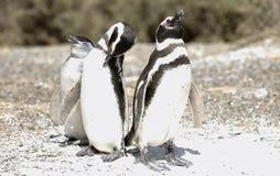 A família do pinguim de Magellanic Imagens de Stock Royalty Free