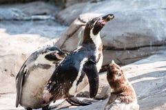 A família do pinguim, três pinguins que caçam para o alimento, um deles está comendo um peixe imagem de stock royalty free