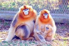 A família do rei do macaco foto de stock royalty free