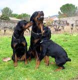 família do rottweiler Imagem de Stock