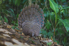 Família do ` s de Grey Peacock Pheasant imagens de stock