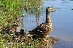 Família do `s do pato Fotografia de Stock Royalty Free
