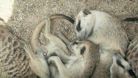 Família do sono 4K dos meercats video estoque