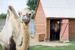 Família do suporte two-humped branco dos pares dos camelos na jarda do aviário do jardim zoológico fotografia de stock