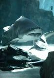 Família do tubarão foto de stock royalty free