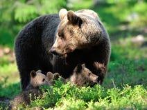 Família do urso de Brown Imagem de Stock Royalty Free